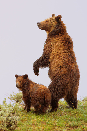 Grizzly Bear 110619-6449