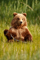 Brown Bear  3748