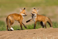 Fox Pups Playing 2