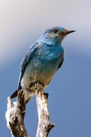 Mountain Bluebird 0001