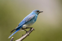 Mountain Bluebird 0002