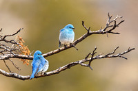 Mountain Bluebird 100322-0871