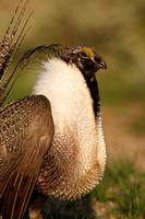 Greater Sage-Grouse 0705029236