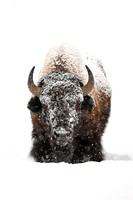 Snowy Day Bison