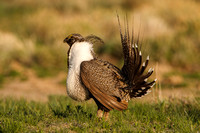 Greater Sage-Grouse 0705029208