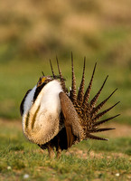 Greater Sage-Grouse 0705029175