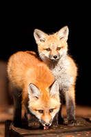 Red Fox Pups 1