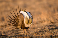 Greater Sage Grouse 7590