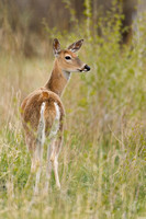 White-tailed Deer 5953