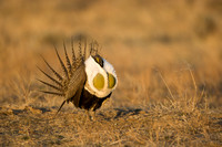 Greater Sage Grouse 7616