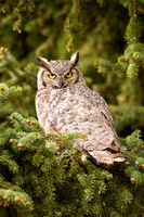 Great Horned Owl 9149