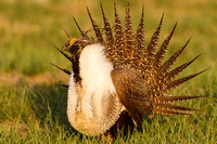 Greater Sage-Grouse 0705029129