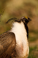 Greater Sage-Grouse 0705029234