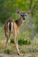 White-tail Deer 8028
