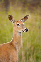 White-tail Deer 5949