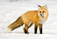 Mountain Fox Vixen