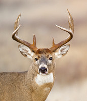 White-tailed Deer 2044