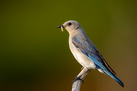 Mountain Bluebird 6513