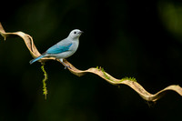Blue-grey Tanager 121202-5740