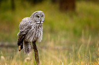 Great Gray Owl 3730