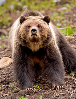 Grizzly Bear 0742