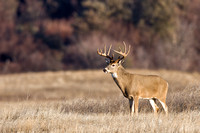 White-tailed Deer 1992