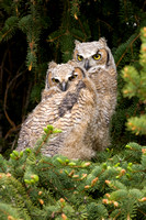 Great Horned Owls 9128