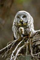 Great Gray Owl 1140