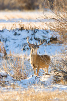 White-Tailed Deer 0755