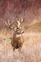 White-tailed Deer 2120