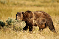 Grizzly Bear 100811-1560