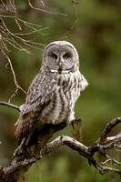 Great Gray Owl 1228