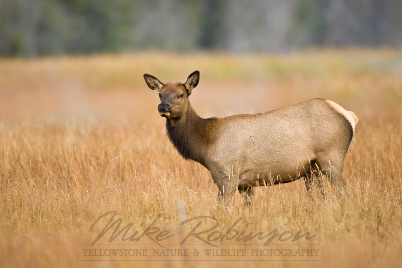 Mike Robinson Yellowstone Nature & Wildlife Photography | Elk