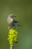 Mountain Bluebird 4282