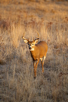 White-tailed Deer 111110-8685