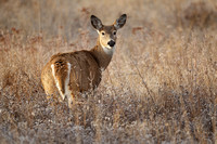 White-tailed Deer 111110-8755