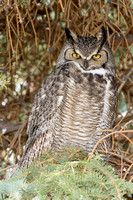 Great Horned Owl 8261
