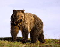 Grizzly Bear 8216
