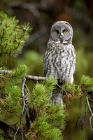 Great Gray Owl 3625