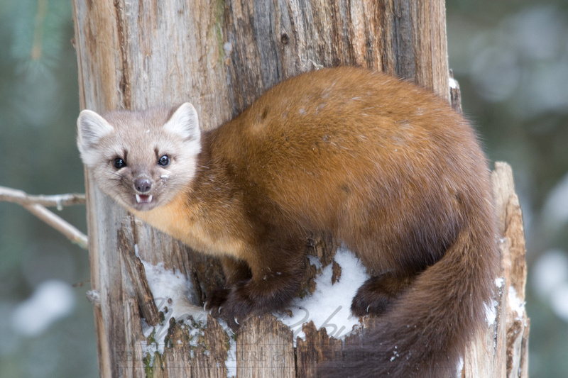 how to catch a pine marten
