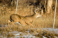 White-Tailed Deer 0779