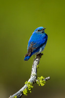 Mountain Bluebird 1205062800